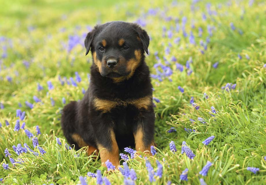 10 Cutest Dog Names For Your Rottweiler
